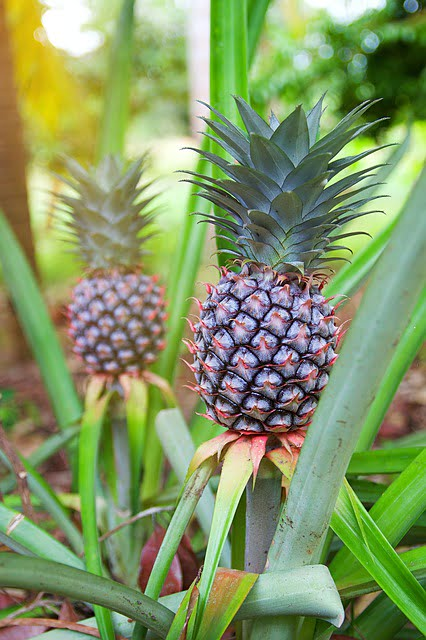 pineapple crop, pineapple farming, pineapple cultivation, agriculture review