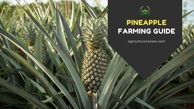 pineapple farming, cultivation of pineapple, pineapple crop,