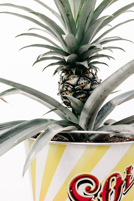 pineapple plant, pineapple fruit, pineapple plant care