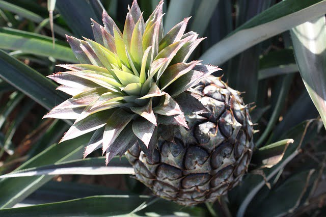 pineapple crop, pineapple ripening, farming, cultivation, fruit crop