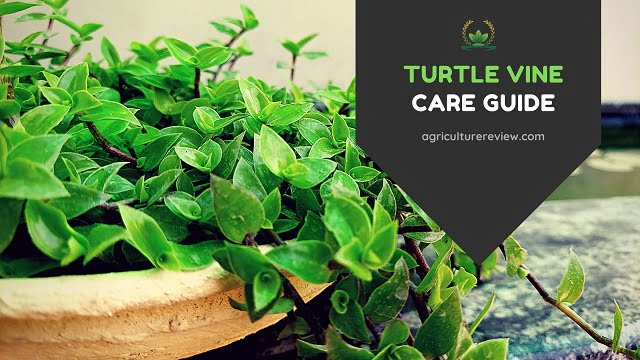 turtle vine care, how to care for turtle vine, how to grow turtle vine, turtle vine