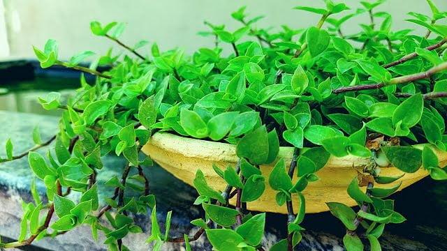 turtle vine plant, turtle vine care, turtle vine, houseplant, indoor plant