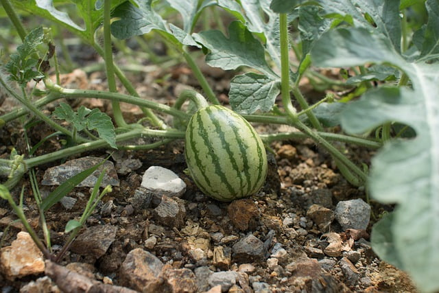 watermelon plant, watermelon plant care, how to grow watermelon, summer fruit, summer vegetable, fruit plant, gardening, agriculture review