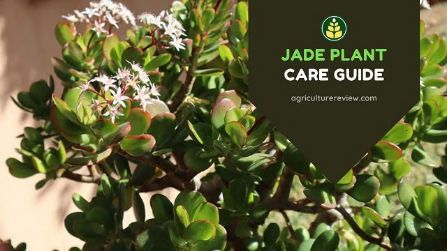 JADE PLANT CARE: Complete Guide To Grow And Care For Jade Plant
