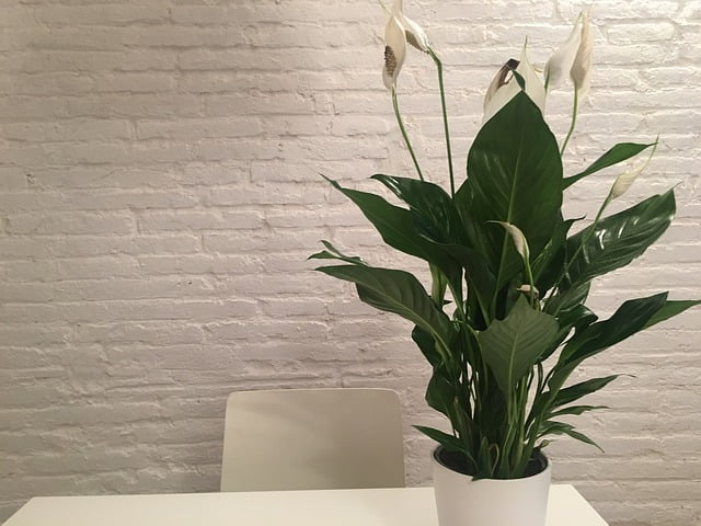 peace lily, houseplant, indoor plant