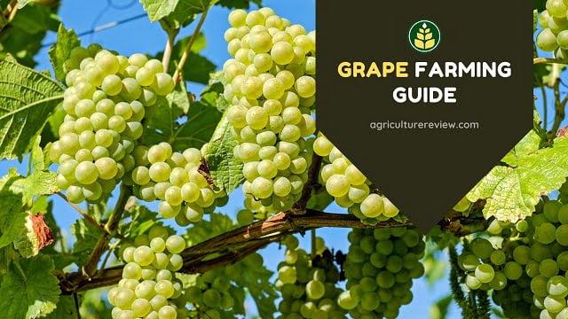 Grape Farming Guide: Organic & Inorganic Cultivation Of Grapes