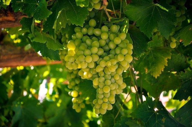 grape fruit, grape vines, grape cultivation, growing grape, grape care, grape farm, grape farming, agriculture review, agriculture, farming,