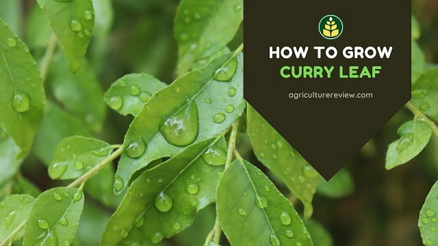 how to grow curry leaf