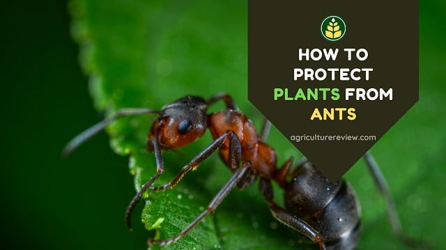 How To Protect Plants From Ants: Organic & Inorganic Method