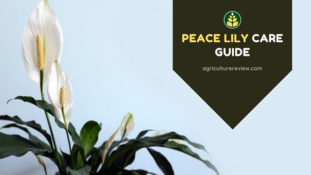 Peace Lily Care Guide: How To Grow And Care For Peace Lily