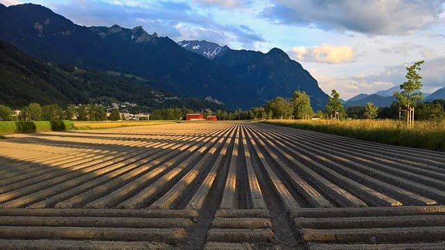potato field, potato crop, potatoes, potato, potato farming guide