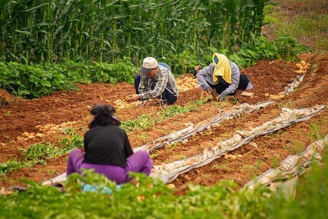 potato harvesting, potato crop, yield of potato, potato farm, potato cultivation