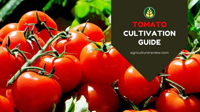 TOMATO CULTIVATION GUIDE: From Origin To Harvesting Of Tomato