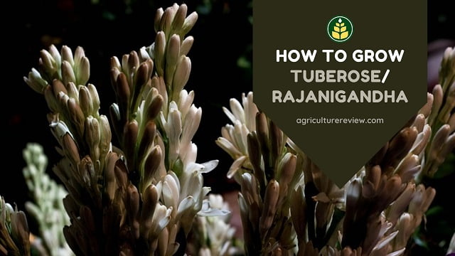 How To Grow Tuberose/Rajanigandha