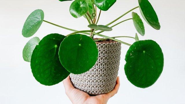 pilea plant, pilea care, how to grow pilea, houseplant