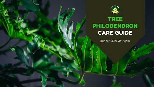 Tree Philodendron Care Guide: How To Grow And Care For Selloum