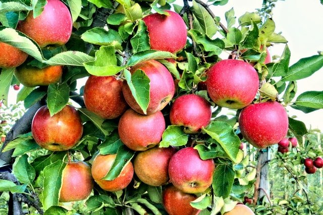 apple fruit on tree, apple tree, apple orchard, apple cultivation