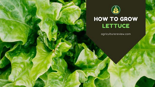 How To Grow Lettuce In Garden