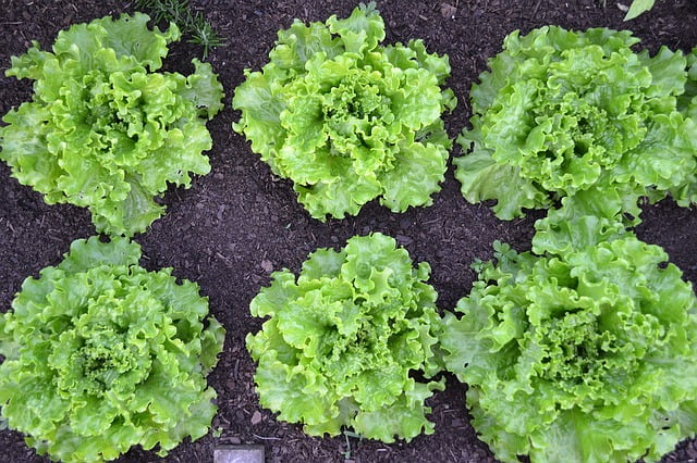 lettuce, leafy vegetable, how to grow, gardening, agriculture review