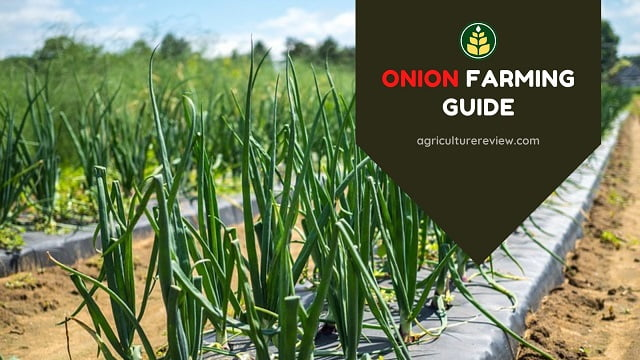 Onion Farming Guide: From Plantation To Harvesting Of Onions