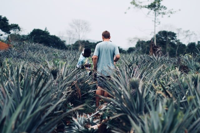 pineapple farm, pineapple nutrition facts, pineapple facts,