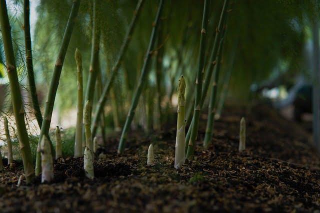 asparagus plants, asparagus, how to grow asparagus, how to plant asparagus from crowns,