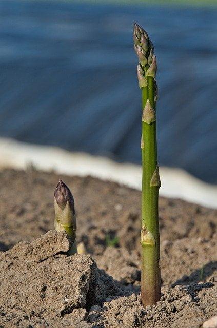 asparagus shoot, asparagus spear, asparagus plant,