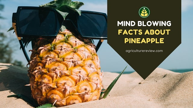 Facts Of Pineapple: 15 Mind blowing Facts About Pineapple