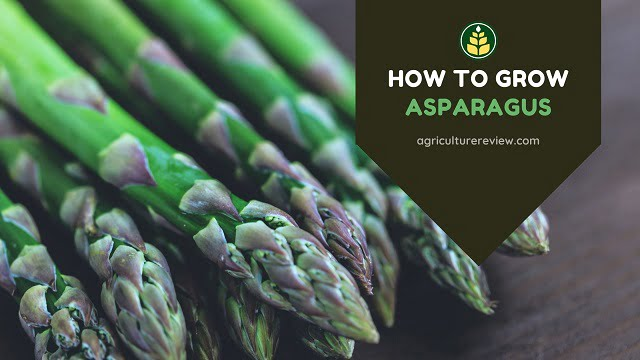 How To Grow Asparagus: Gardening Guide & Caring Tips