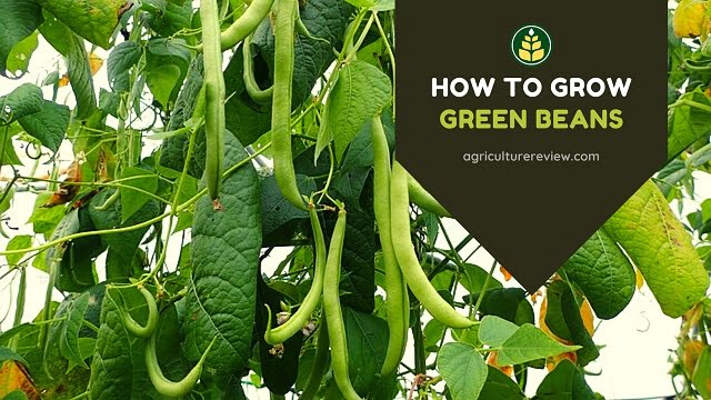 How To Plant & Grow Green Beans: Tips & Gardening Advice