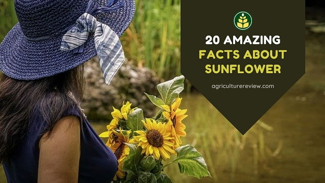Sunflower Facts: 20 Amazing Facts About Sunflower