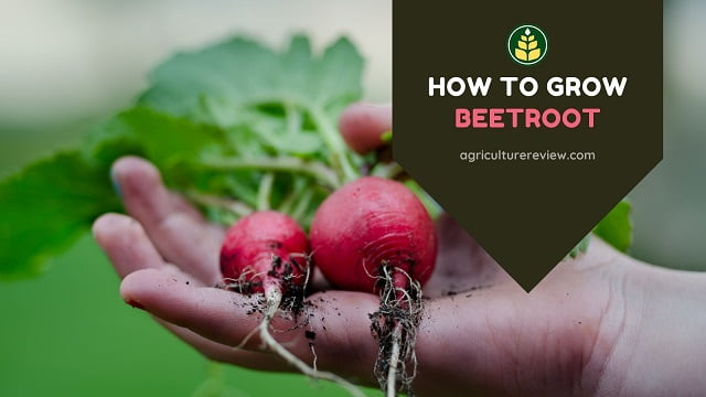 How To Grow Beetroot: Tips & Gardening Advice
