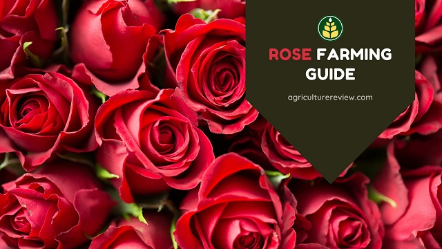 Rose Farming: Complete Guide On Farming Of Rose