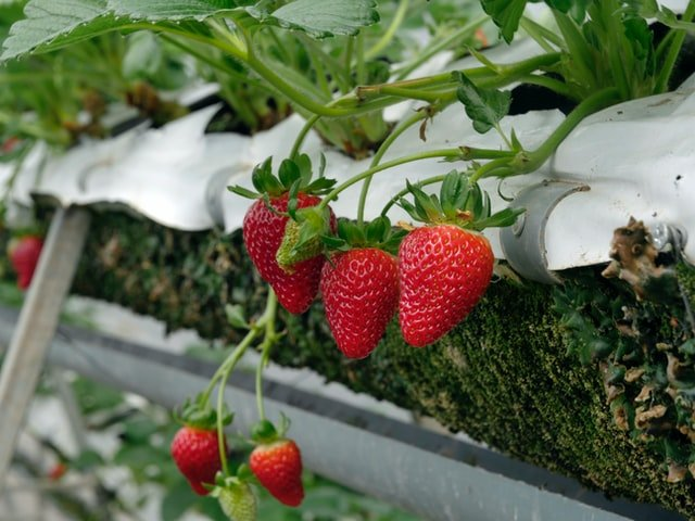 strawberry facts nutrition, strawberry nutrition facts, strawberry nutritional value, strawberry nutritional facts,