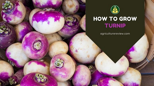 how-to-grow-turnip