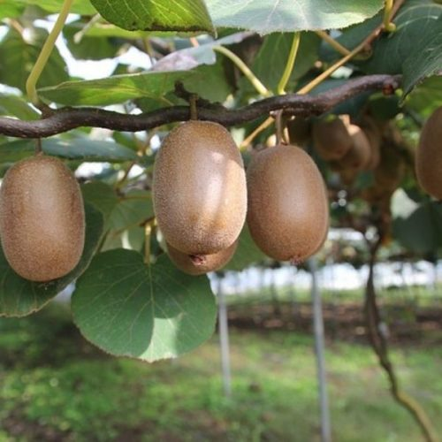 kiwi-farming-agriculture-review