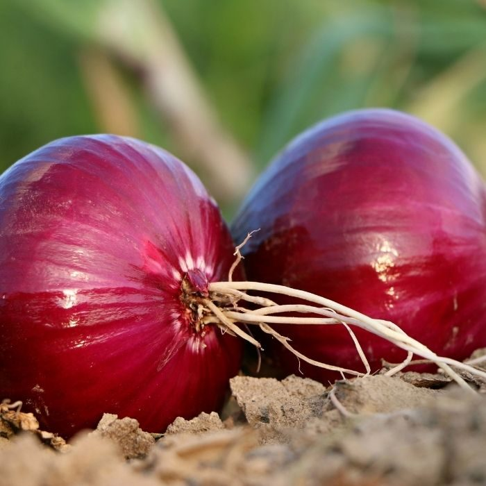 onion-peel-agriculture-review