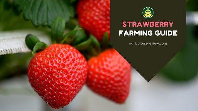 strawberry-farming